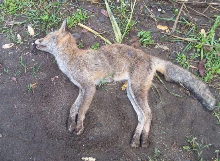 Un cacciatore senza scrupoli uccide una giovane volpe di montagna